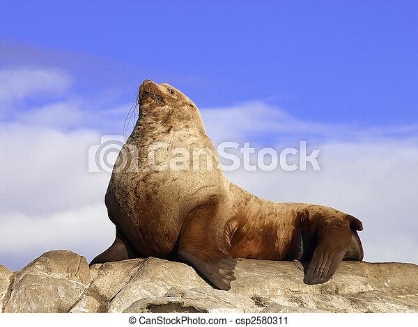 Prould Wild Male Steller Sea Lion        - csp2580311