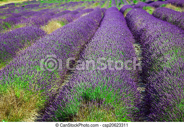 Provence - lavender field in the Gordes ,France - csp20623311