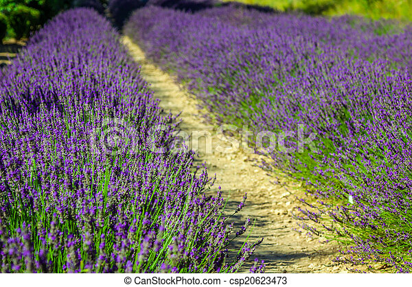 Provence - lavender field in the Gordes ,France - csp20623473