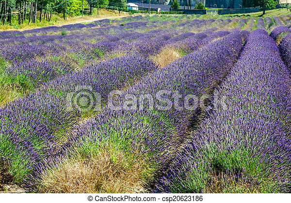 Provence - lavender field in the Gordes ,France - csp20623186