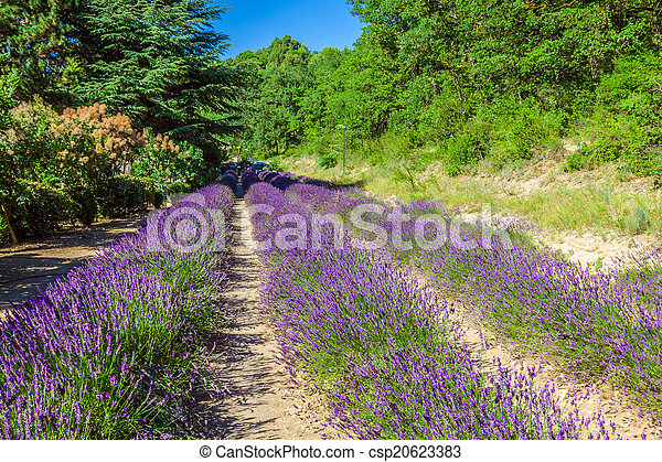 Provence - lavender field in the Gordes ,France - csp20623383