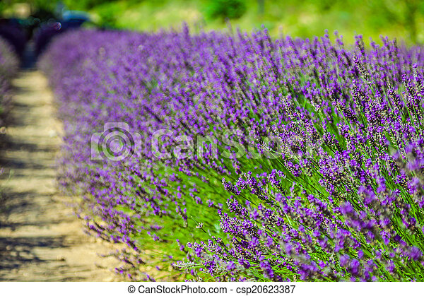 Provence - lavender field in the Gordes ,France - csp20623387