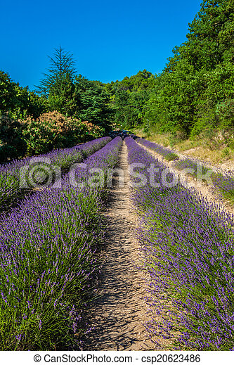 Provence - lavender field in the Gordes ,France - csp20623486