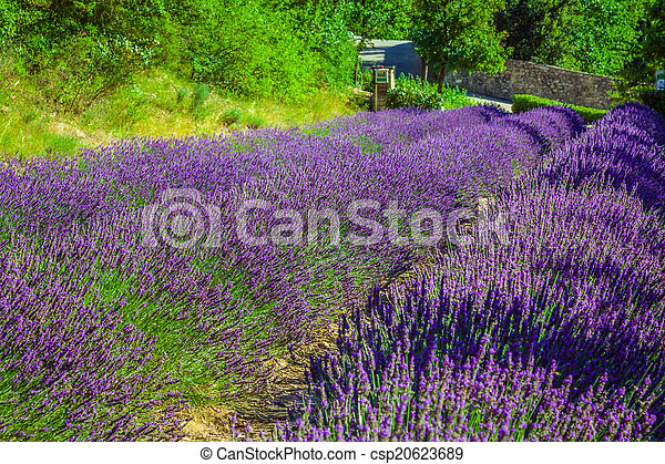 Provence - lavender field in the Gordes ,France - csp20623689