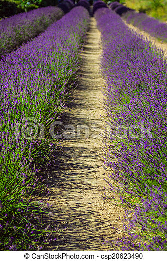 Provence - lavender field in the Gordes ,France - csp20623490