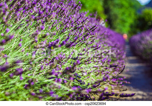 Provence - lavender field in the Gordes ,France - csp20623694