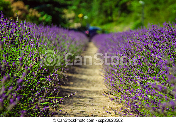 Provence - lavender field in the Gordes ,France - csp20623502