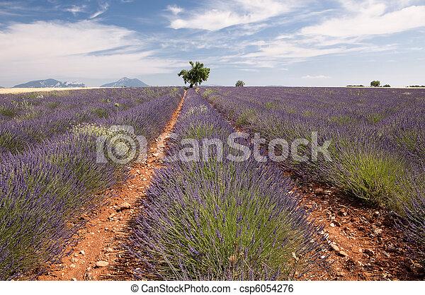 Provence lavender field - csp6054276