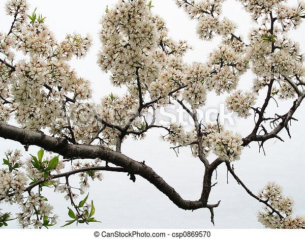 prune, fleurs - csp0869570