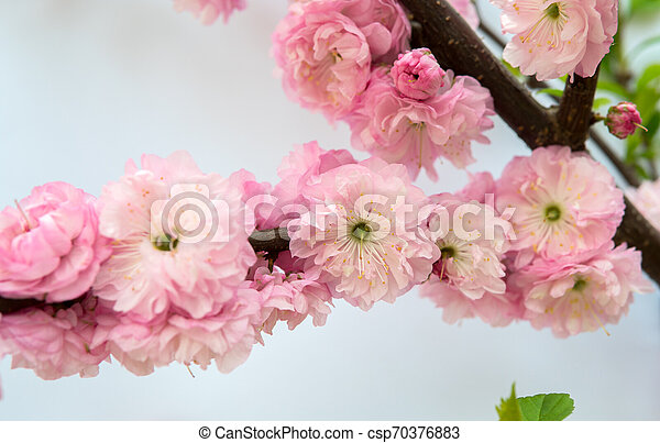 Prunus triloba isolated over white - csp70376883