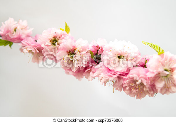 Prunus triloba isolated over white - csp70376868