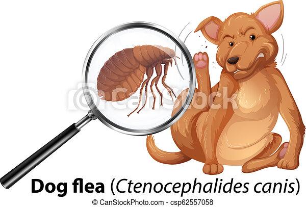 puce, chien, magnifié - csp62557058