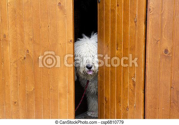 Perro curioso y tímido escondido detrás de la puerta de madera - csp6810779