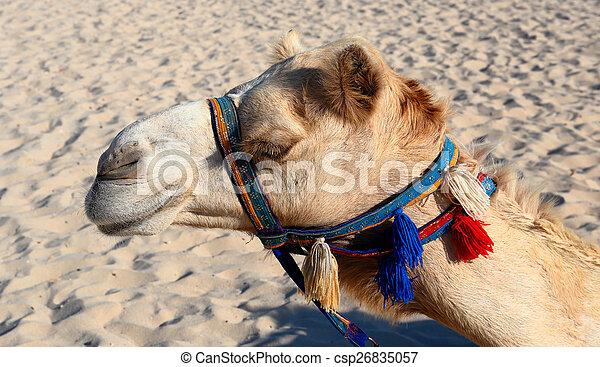 Camellos en la playa en Dubai marina - csp26835057