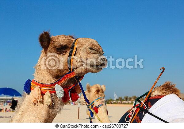 Camellos en la playa en Dubai marina - csp26700727