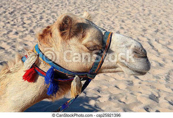 Camellos en la playa en Dubai marina - csp25921396