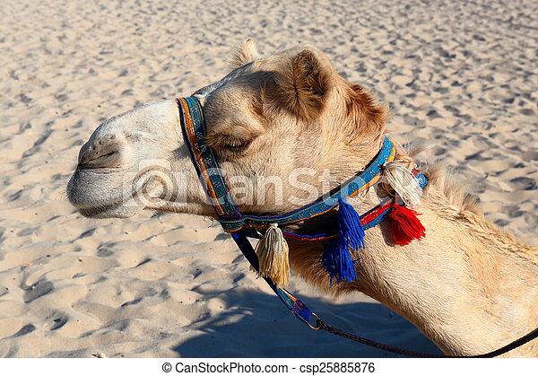 Camellos en la playa en Dubai marina - csp25885876