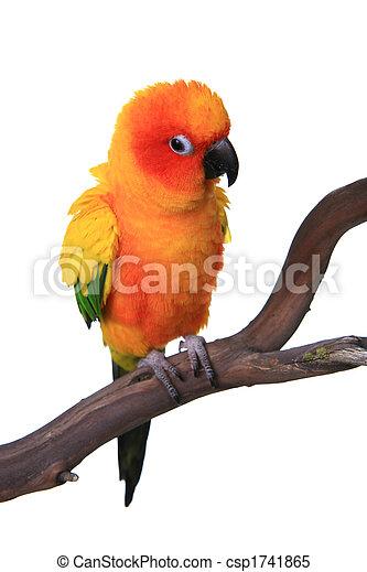 Puffy Sun Conure Parrot Bird - csp1741865
