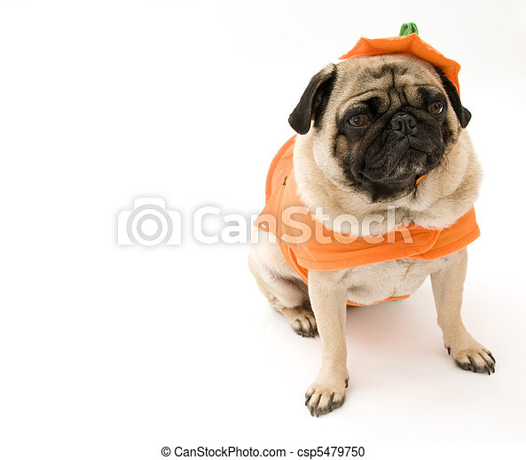sc 1 st  Can Stock Photo & Pug in pumpkin costume isolated on white background.