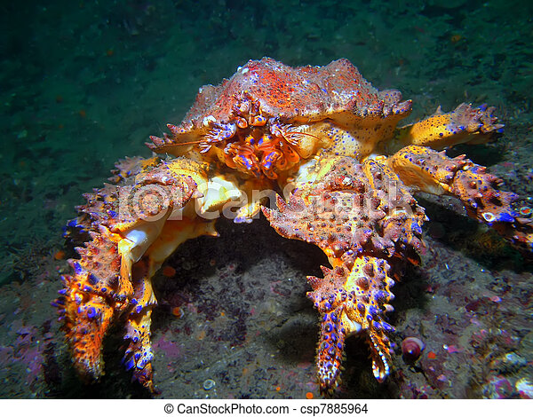Puget Sound King Crab      - csp7885964