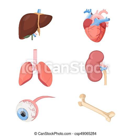 Pulmones Corazón Médico Dos Realista Humano órganos Arterial