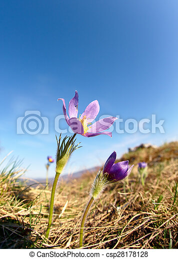 Pulsatilla flowers on blue sky background - csp28178128
