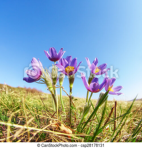 Pulsatilla flowers on blue sky background - csp28178131
