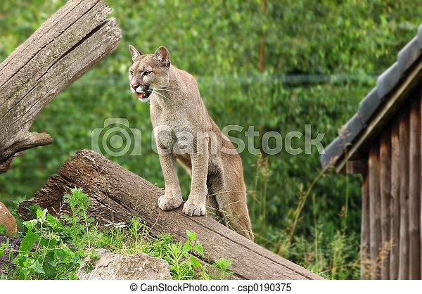 Puma, cougar. - csp0190375