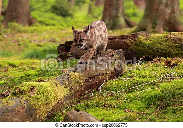 Puma kitten - csp20062775