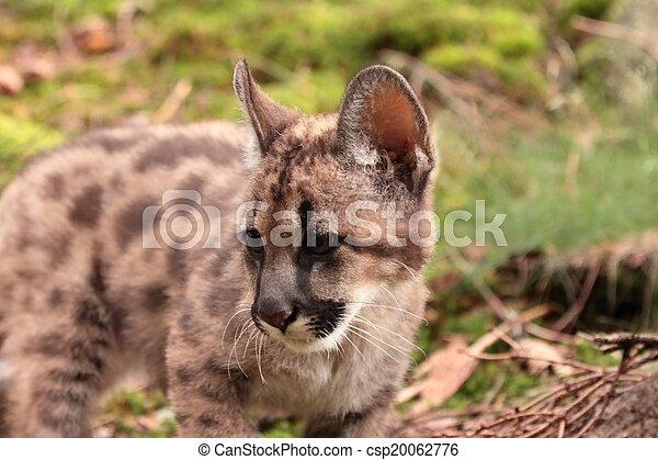 Puma kitten - csp20062776