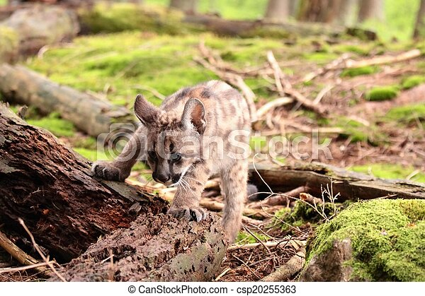 Puma kitten - csp20255363