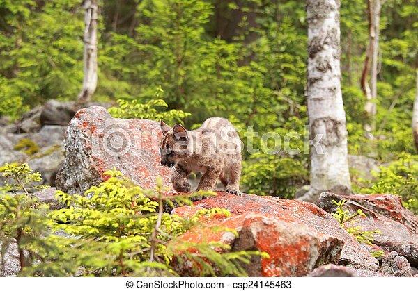 Puma kitten - csp24145463