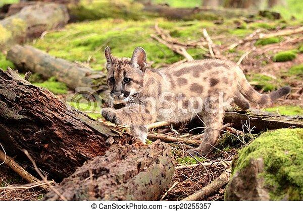 Puma kitten - csp20255357