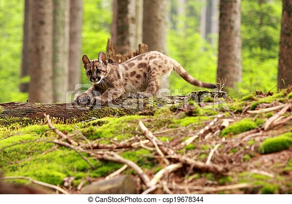 Puma kitten - csp19678344