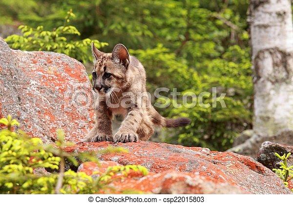 Puma kitten - csp22015803