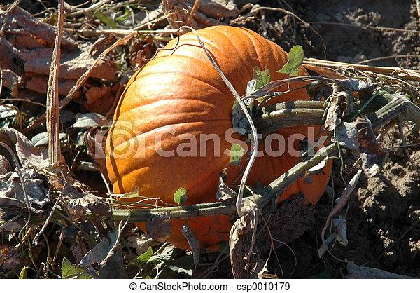 Pumpkin on the Vine - csp0010179