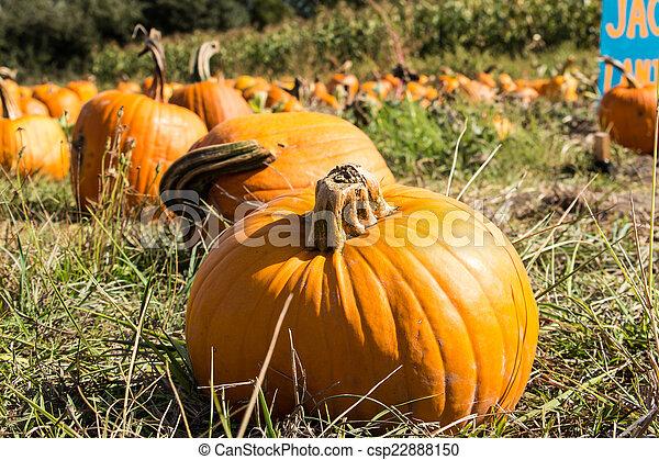 Pumpkin Patch - csp22888150