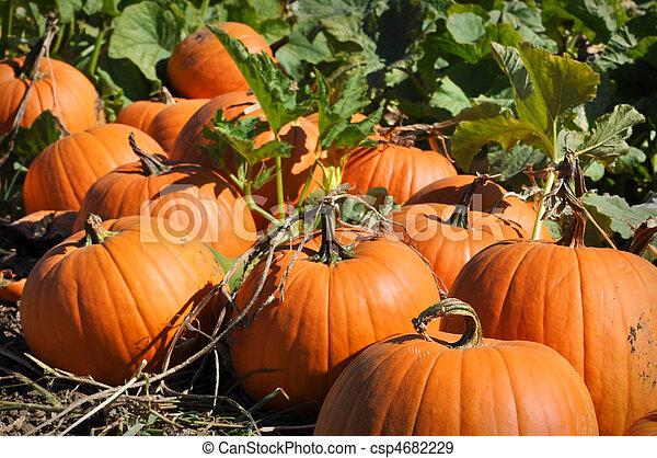 Pumpkin Patch - csp4682229