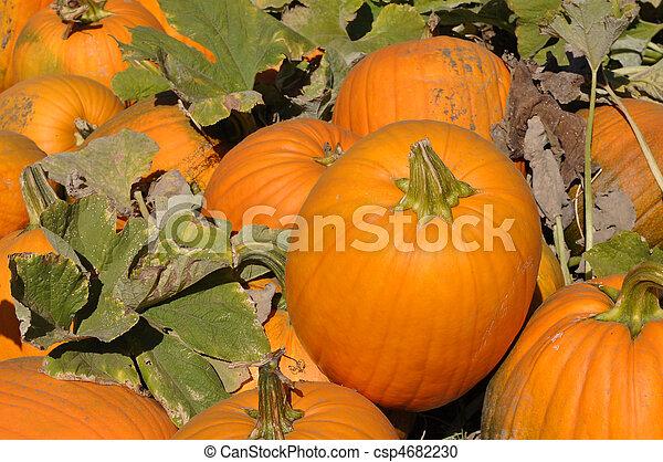 Pumpkin Patch - csp4682230