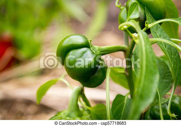 pumpkin pepper plant growing - csp57718683