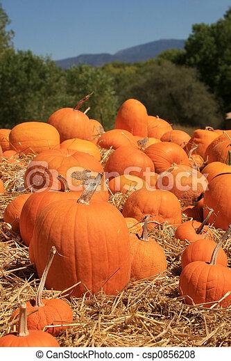 Pumpkins (Cucurbita moschata) - csp0856208