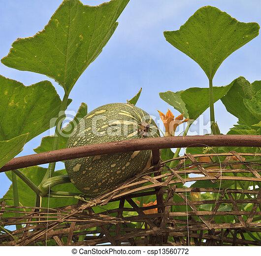 pumpkins - csp13560772