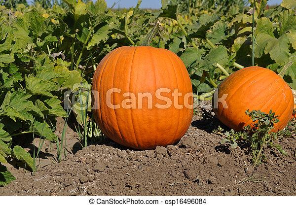Pumpkins - csp16496084