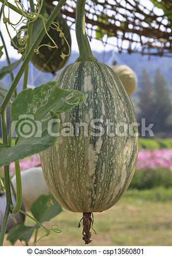 pumpkins - csp13560801