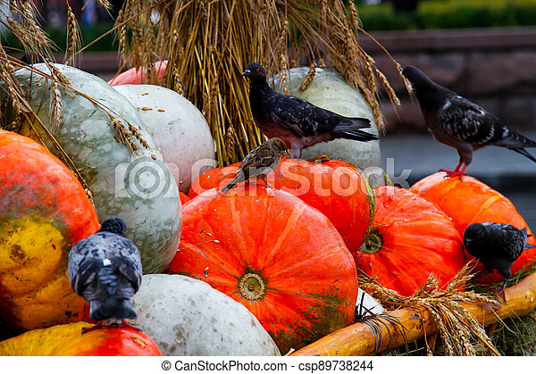 Pumpkins with pigeons and a sparrow - csp89738244