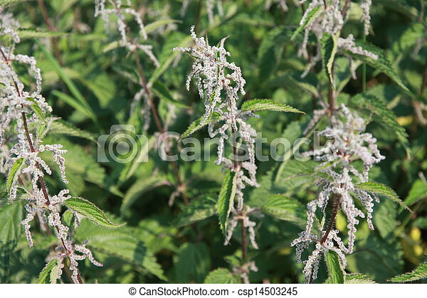 pungent and irritating nettle plants excellent for preparing a tasty rice - csp14503245