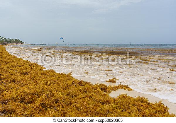 Punta Cana, Dominican Republic - June 24, 2018: sargassum seaweeds on the  beaytiful ocean beach in Bavaro, Punta Cana, the result of global warming