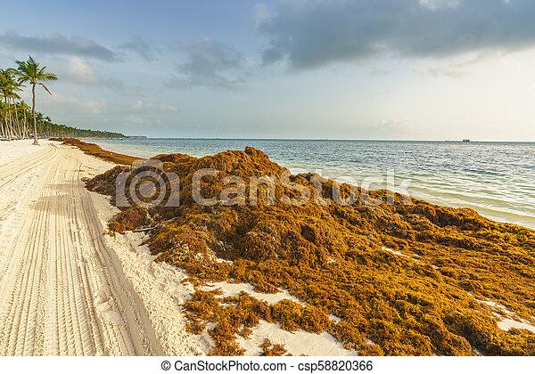punta cana dominican republic june 25 2018 sargassum seaweeds