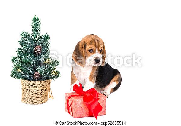 puppy beagle near christmas tree with pink box csp52835514 - Christmas Beagle