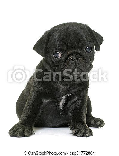 svart Puppy svart dama spruter